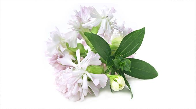 Kwiat mydlnicy lekarskiej